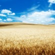 Stock Photo: Hills of barley in Tuscany, Italy