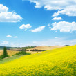 Field of yellow flowers Tuscany, Italy — Stock Photo #16187721