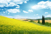 Field of yellow flowers Tuscany, Italy — Stock Photo