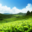 Tea plantation Cameron highlands, Malaysia — Foto de Stock