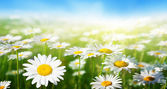 雏菊花的领域 — 图库照片
