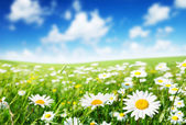 Field of daisy flowers — Stock Photo
