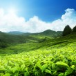 Tea plantation Cameron highlands, Malaysia — Stock Photo #19527517