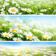 Banners of spring fields of daisy flowers — 图库照片