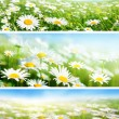 Banners of spring fields of daisy flowers — Stok fotoğraf