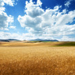 Barley hills Tuscany, Italy — Stock Photo #21677985