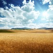Barley hills Tuscany, Italy — Stock Photo #22058395