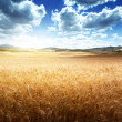 Barley hills Tuscany, Italy — Stock Photo #23146534