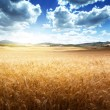 Barley  hills Tuscany, Italy - Stock Photo