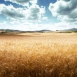 Barley hills Tuscany, Italy — Stock Photo #23567003