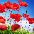Poppy flowers on field and sunny day — Stock Photo #23944405