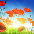 Stock Photo: Poppy flowers on field and sunny day