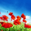 Royalty-Free Stock Photo: Poppy flowers on field and sunny day