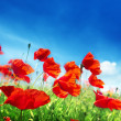Poppy flowers on field and sunny day — Stock Photo #23944455