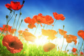 Poppy flowers on field and sunny day — Stock Photo