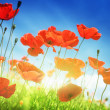 Poppy flowers on field and sunny day — Stock Photo #24277381
