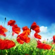 Poppy flowers on field and sunny day — Stock Photo #24277431