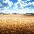 Barley hills Tuscany, Italy — Stock Photo #24277727