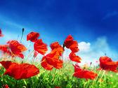 Flores de amapola en el campo y día soleado — Foto de Stock