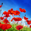 Stock Photo: Poppy flowers and sunny day