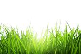 Yeşil çimenlerin üzerinde beyaz izole — Stok fotoğraf