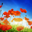 Poppy flowers and sunny day — Foto Stock