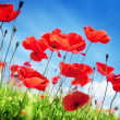 Poppy flowers on field and sunny day - Stock Photo