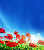 Poppy flowers and sunny day — Stock Photo