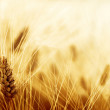 Wheat field — Stock Photo #38628507
