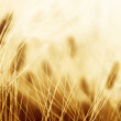Wheat field — Stock Photo #39069273