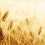 Wheat field — Stock Photo #39528649