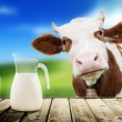 Cow and milk — Stock Photo
