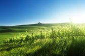 Sunset  on vineyard  Tuscany, Italy — Stock Photo