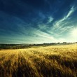 Wheat field in sunset time — Stock Photo #51063555