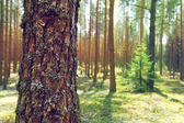 Trunk of pine in summer forest — Stock Photo