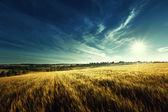 Wheat field in sunset time — Stok fotoğraf