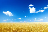 Wheat field and sunny day — Stock Photo