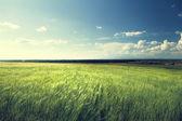 Campo de cebada y soleado día — Foto de Stock