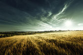 Wheat field in sunset time — Stock Photo
