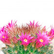 Blooming cactus mammillaria — Stock Photo