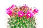 Маммиллярия Цветущий кактус — Стоковое фото