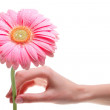 Hand holding pink gerber daisy isolated on white — Stock Photo #16183077