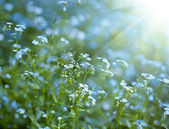 Background with forget-me-not — Stock Photo