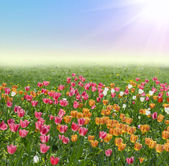 Background with tulips — Stock Photo
