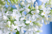 Delicate white lilac — Stock Photo