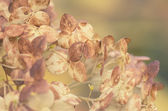Dried flower garden hydrangeas — Stock Photo