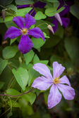 Clematis in nature — Stock Photo