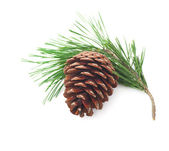Pine cone on a branch — Stock Photo