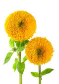 Sunflowers, helianthus annuus, on a white background — Stock Photo