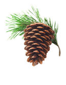 Pine cone on a branch on a white background — Stock Photo